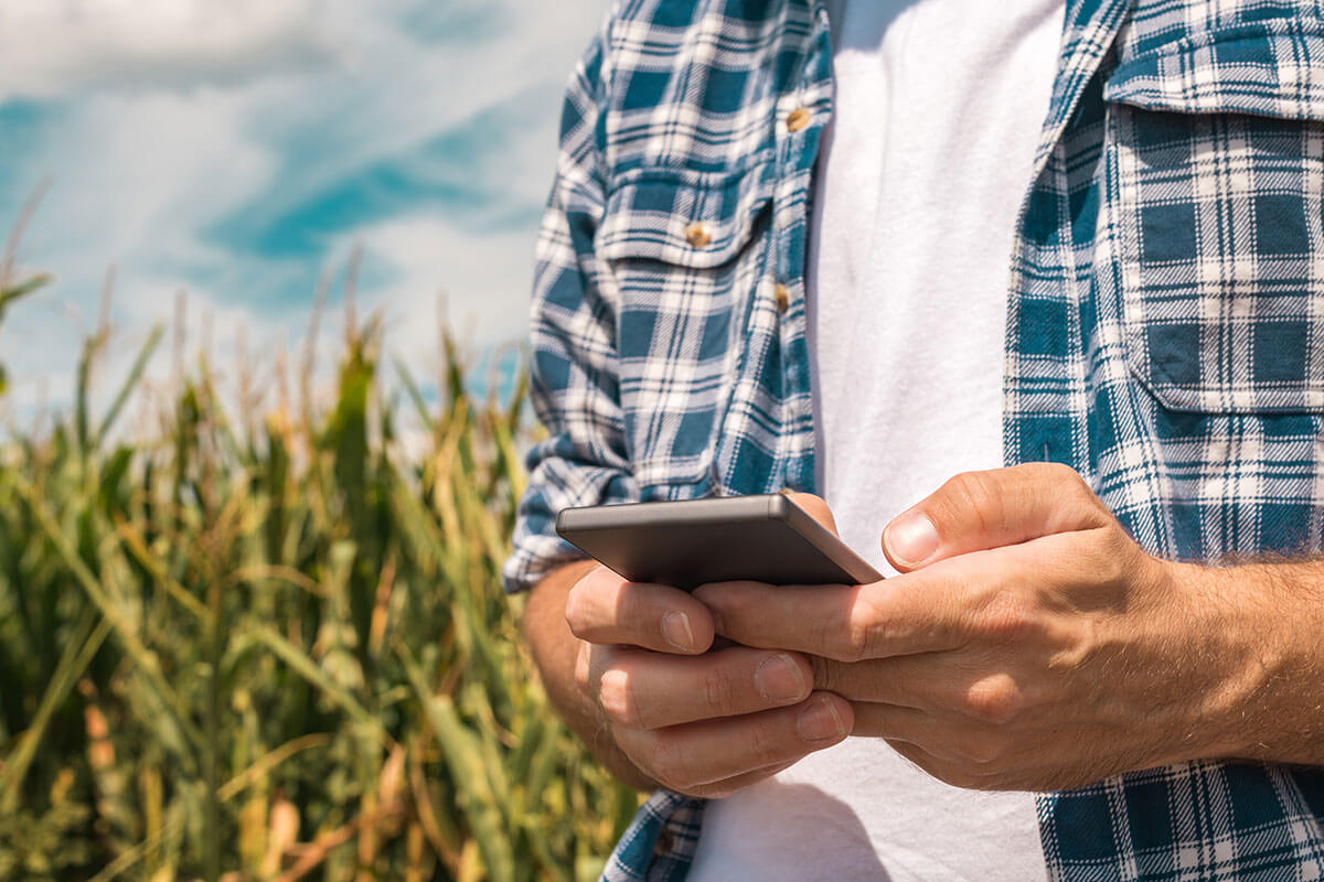 An individual using his phone with a field of corn in the background.